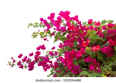Bougainvilleas isolated on white background. Save with clipping path.