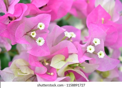 Bougainvilleas pink and White flowers With white pollen In the back garden background Bokeh flower background. pink  Bougainvillea flowers.