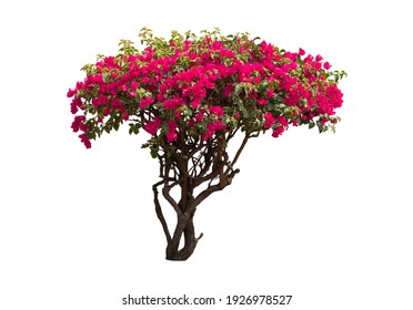 Bougainvilleas tree isolated on white background with clipping path