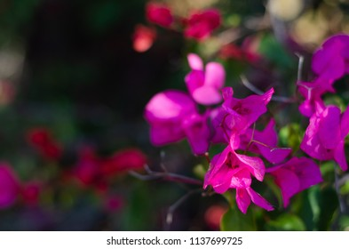 Bougainvillia flowers on a bush in the outdoors