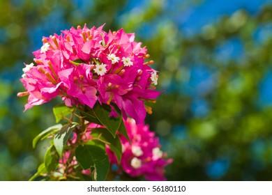 bouganvilla flower