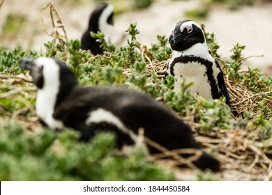Boulders Beach Jackass Penguin colony, Simonstown in South Africa
