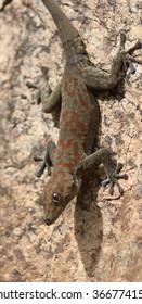 Boulton's Namib Day Gecko, Rhoptropus boultoni