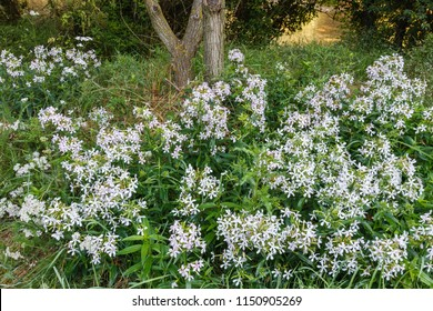 Bouncing bet, fuller's herb, soapwort. Saponaria officinalis. Plants with flowers.
