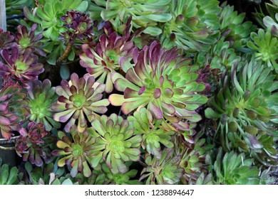 Bountiful green and purple succulents.