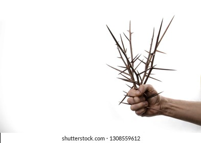 Bouquet of acacia thorns (Gleditsia triakantnos) in male hand on a white background.
