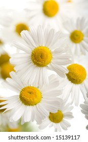 bouquet of beautiful camomiles isolated
