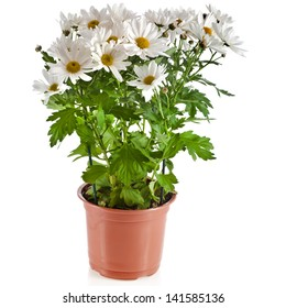 bouquet of beautiful chrysanthemum daisies flowers in a plastic pot isolated on a white background