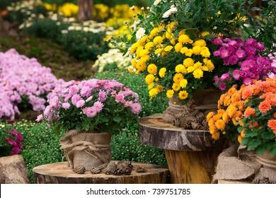 A bouquet of beautiful chrysanthemum flowers outdoors. Chrysanthemums in the garden.