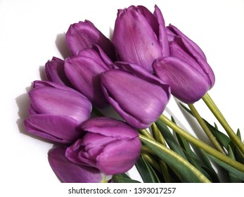 A bouquet of beautiful varietal lilac tulips on a white background. milka