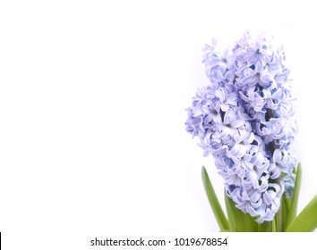 Bouquet of blooming blue hyacinths isolated on white background.