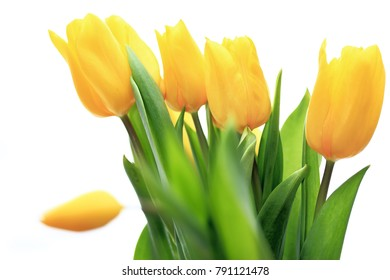 Bouquet of blooming Botanic Tulip yellow flowers