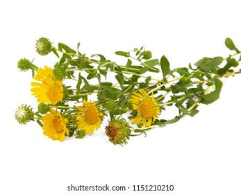 Bouquet of blooming Curlycup gumweed, isolated on white. Grindelia squarrosa