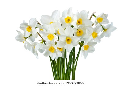 Bouquet of blooming white daffodils isolated on white background. Spring flowers.