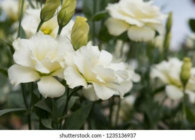 bouquet of blooming white Lisianthus Russelianus in garden. rose-like flower
