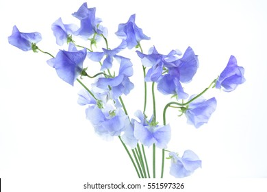 The bouquet of blue sweet pea flowers