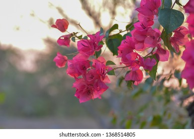 bouquet of Bougainvillea flowers on  background blur.