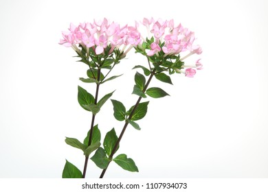 bouquet of bouvardia in a white background