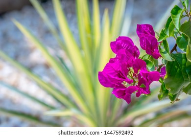 A bouquet of bright pink bougainvillea flower blooms in a garden, with a variegated yucca plant as a backdrop, with selective focus, and a blurred background and shallow depth of field.