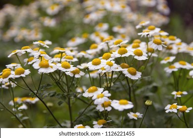 A bouquet of camomiles on a meadow with daylight
