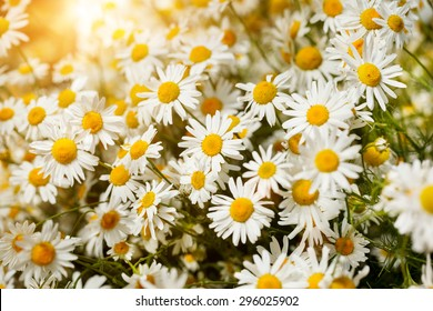 Bouquet of camomiles at sunlight.  Natural cute background.