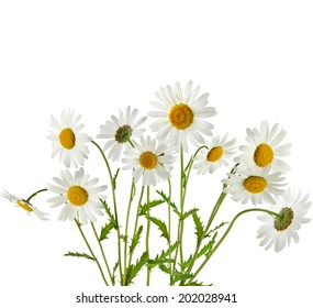 Bouquet of chamomile flower isolated on white  background