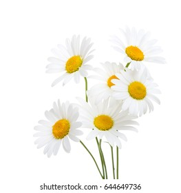 Bouquet  of Chamomiles  ( Ox-Eye Daisy ) isolated on a white background.