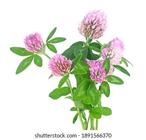 Bouquet of clover flowers isolated on a white background. Trefoil flowers. Herbal medicine.