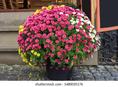 Bouquet of colorful chrysanthemums small flowers growing in pot