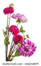 Bouquet of colourful dahlias. Isolation on a white.