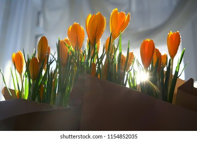 bouquet of crocuses / sun rays and glare on a bouquet of wild yellow field flowers, spring background, sunny morning weather