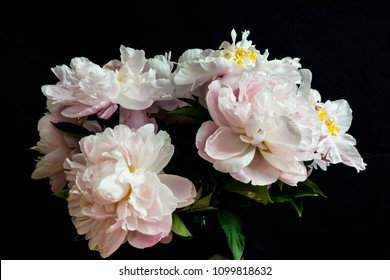 bouquet of cut fading blossoming white peony flowers, shot in front of  a black backdrop, in springtime at Milan, Italy