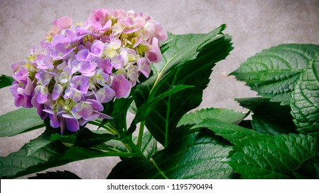 Bouquet de Hortencia, shrub with scientific name Hydrangea macrophylla, native to Asia, China and Japan