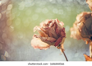 Bouquet of dry roses on window with blurred beautiful bokeh in vintage style sepia. Selective soft focus, Withering concept. Beauty of fading flowers