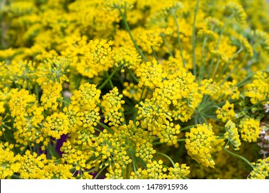 Bouquet of Fern leaf yarrow, sometimes called yellow yarrow. Yarrow flowers are often thought to represent both healing and inspiration.