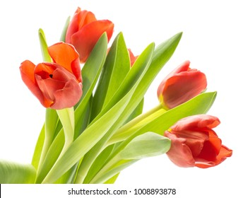 Bouquet of five red tulips fresh cut isolated on white background spring flowers