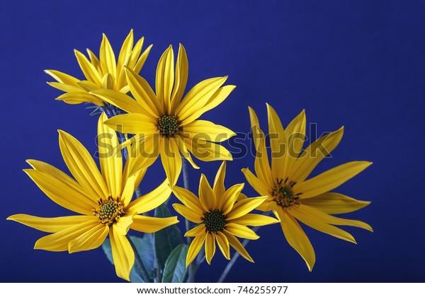 A bouquet of flowers of Jerusalem artichoke close-up/A bouquet of flowers Jerusalem artichoke flowers on blue background