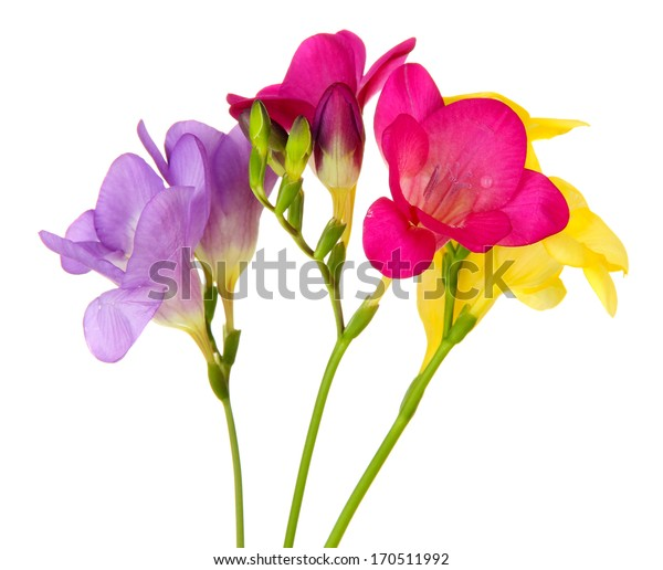 Bouquet of freesias flower, isolated on white