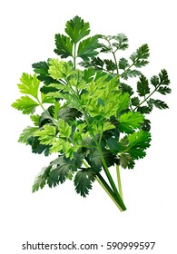 Bouquet of fresh herbs: Parsley, Chervil, Cilantro. Clipping paths