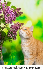 Bouquet of fresh lilacs and a red cat on a blue wooden table