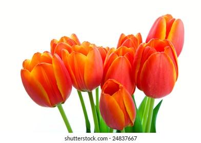 A bouquet of fresh orange & yellow spring tulips.  Shot on white background.