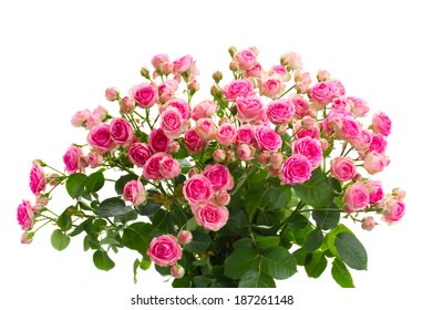 bouquet  of fresh pink roses close up isolated on white background