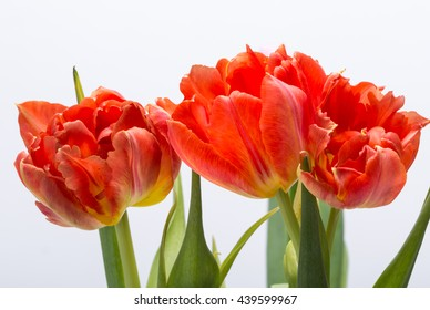 bouquet of fresh spring red tulips flowers