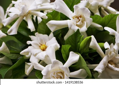 Bouquet of Gardenia flower (Gardenia jasminoides) with buds and green leaves pattern background texture, Spring in GA USA.