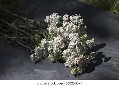 bouquet of gathered fresh milfoil on slate