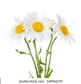 The bouquet of gentle garden camomiles isolated on white