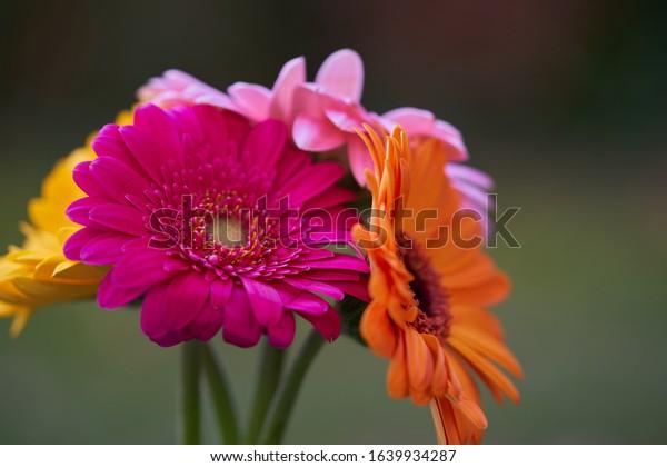 Bouquet of Gerbera jamesonii flower. Colorful gerbera daisy flower on green background.