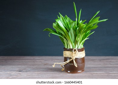 Bouquet of green leaves of wild garlic in a brown clay jar on a dark background. Allium ursinum is rich in vitamins. Medicinal plant for the prevention of diseases and increase immunity. Super food.