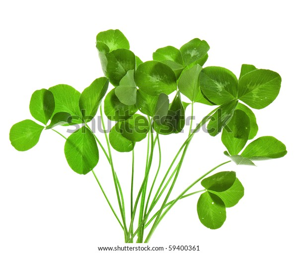 bouquet of leaves clover isolated on white  background