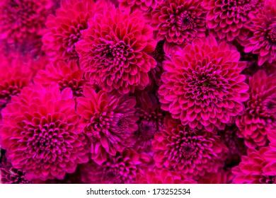 Bouquet of magenta dahlias. Floral pattern.